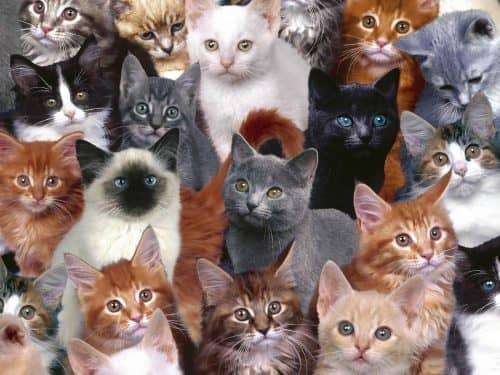 Как выбрать породу кошки?