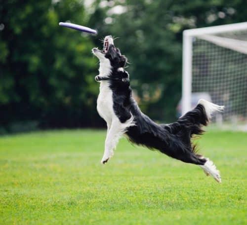 Радостный лай собаки