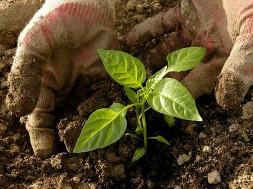 Советы по высадке растений