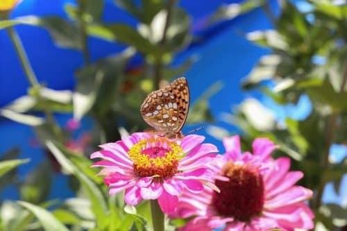 Бабочки на огороде