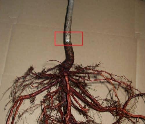 Положение корневой шейки