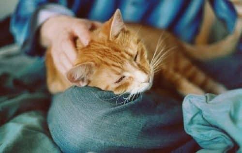 Кошки повышают иммунитет